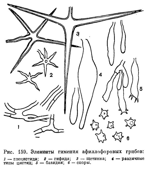 Порядок Афиллофоровые (Aphyllophorales)