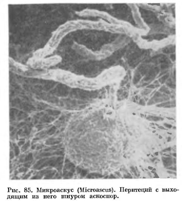 Порядок Микроасковые (Microascales)