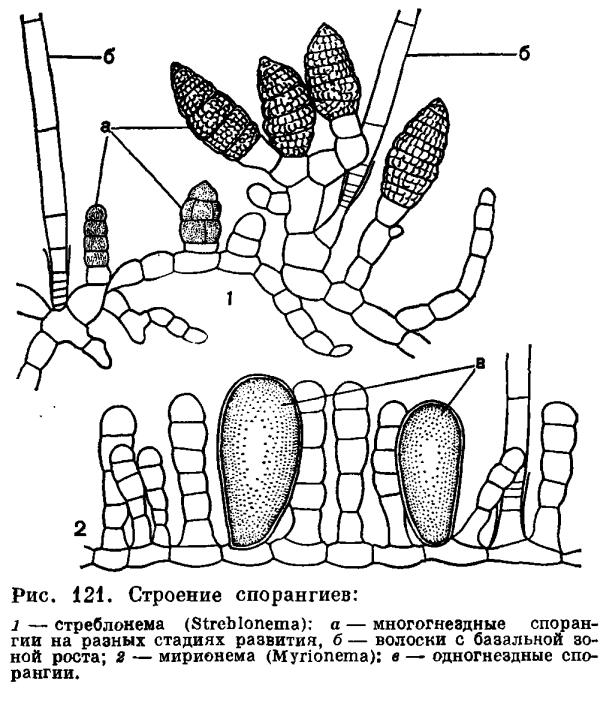 Порядок эктокарновые (Ectocarpales)