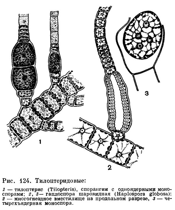Порядок тилоптиридовые (Tilopteridales)