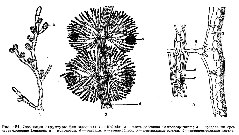 строение красной водоросли картинка сугробах лайки