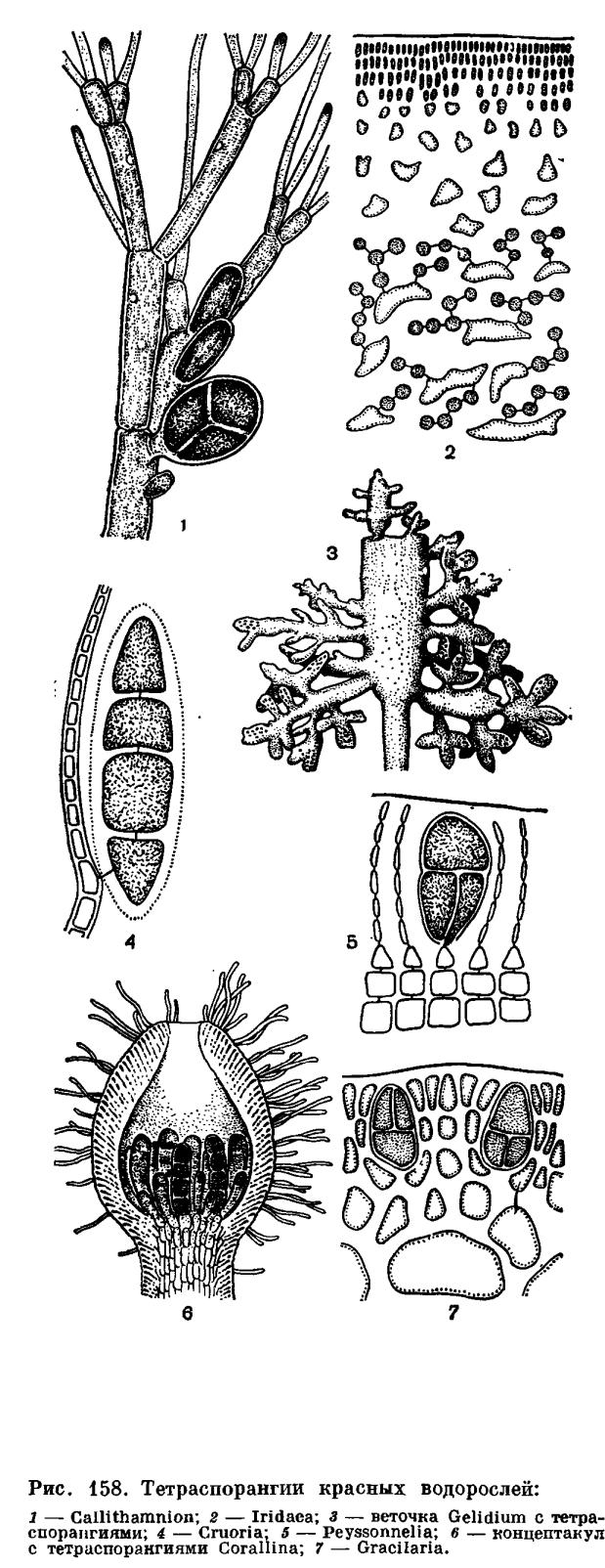 Сперматангии у красных водорослей