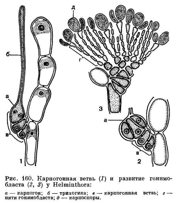 Размножение красных водорослей