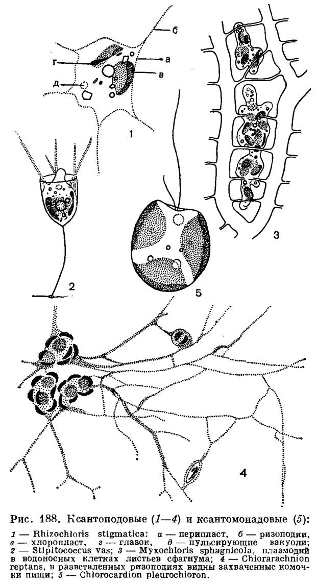 Класс ксантоподовые (Xanthopodophyceae)