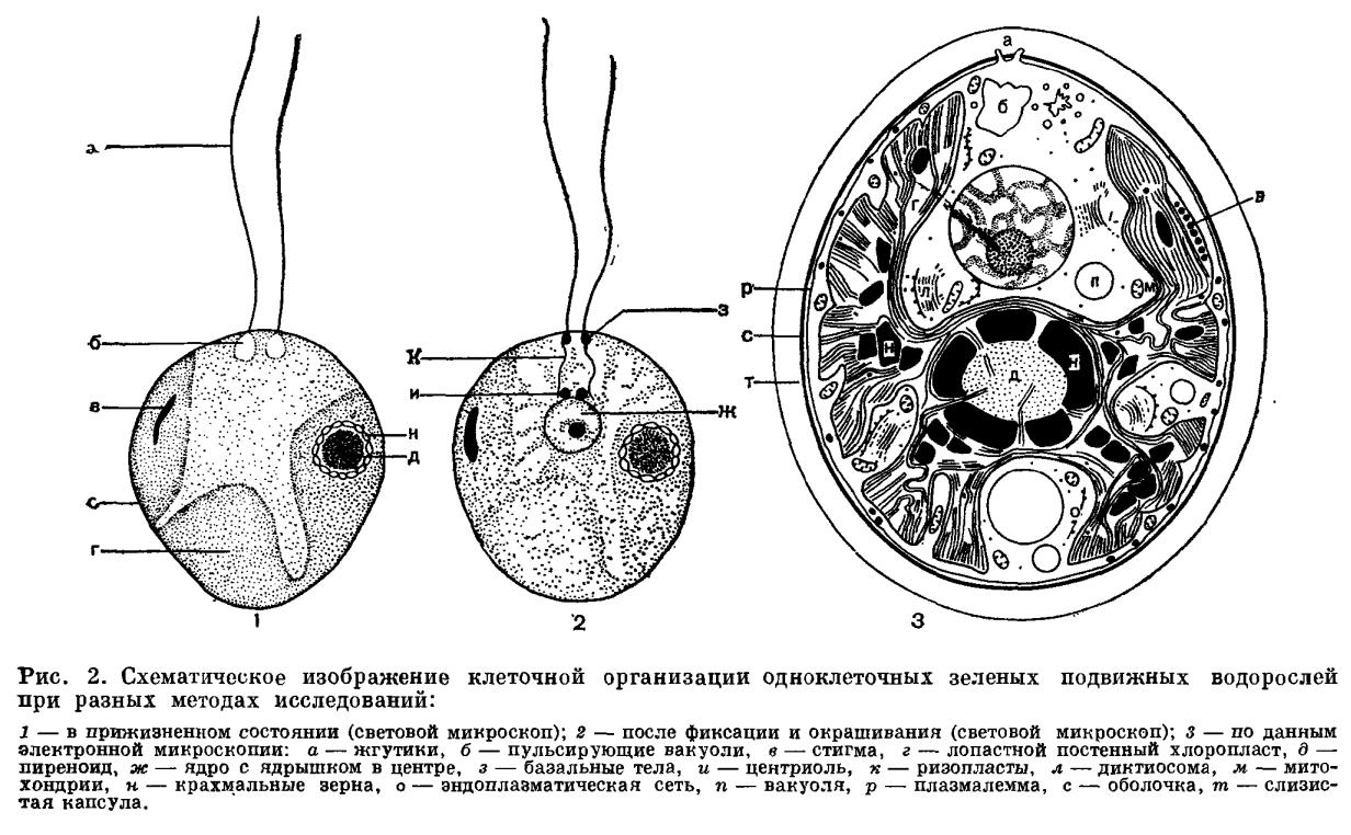 плазмодесмы вольвокса