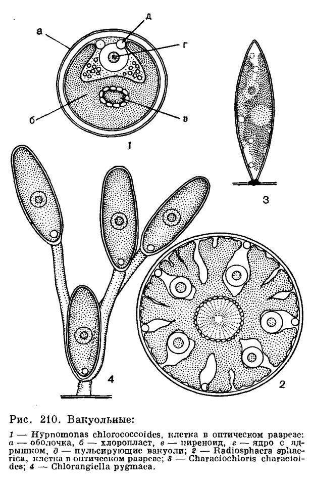 Порядок хлорококковые (Chlorococcales)