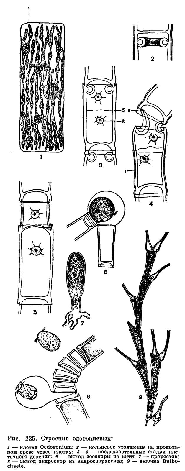 Порядок эдогониевые (Oedogoniales)