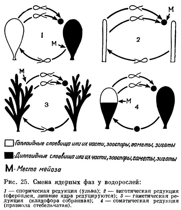 Размножение и циклы развития