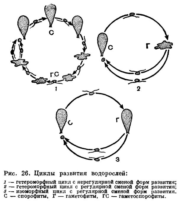 Зачатки водорослей в виде спор