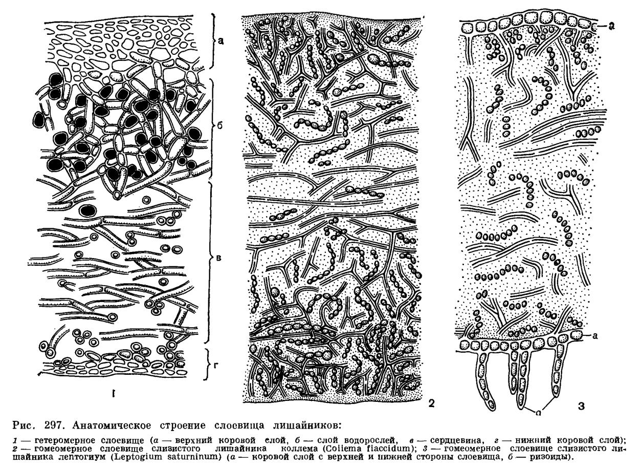 Взаимоотношения гриба и водоросли в теле лишайника