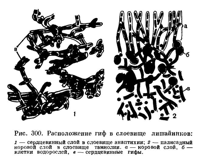 Анатомия слоевища лишайников
