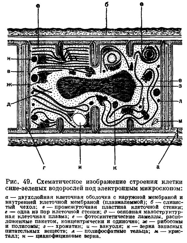 Синезеленые- самые древние из водорослей и древнейшие представители мира растений.  Общее число видов около 1400...
