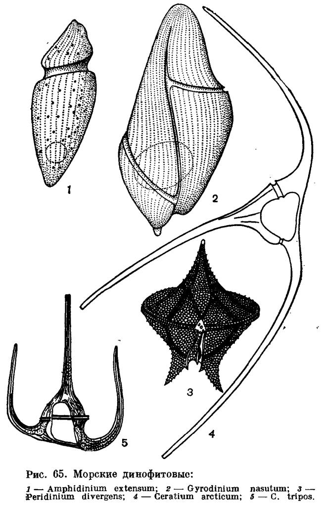 Подотдел динофитовые (Dinophytina)