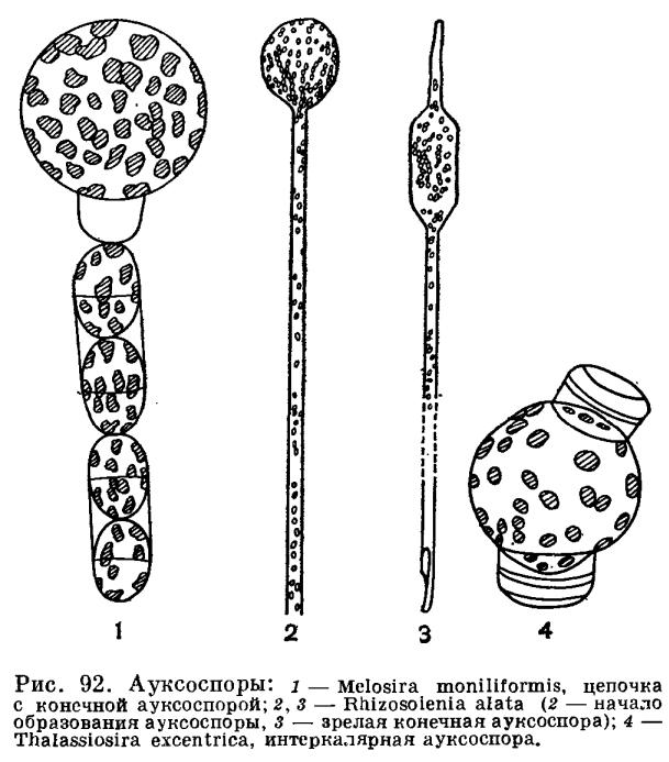 Размножение диатомовых