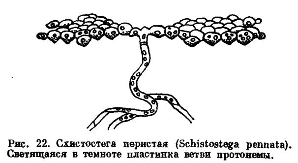 С другой стороны, наблюдается увеличение значения протонемы в жизненном цикле мха, и протонема, в конце концов...