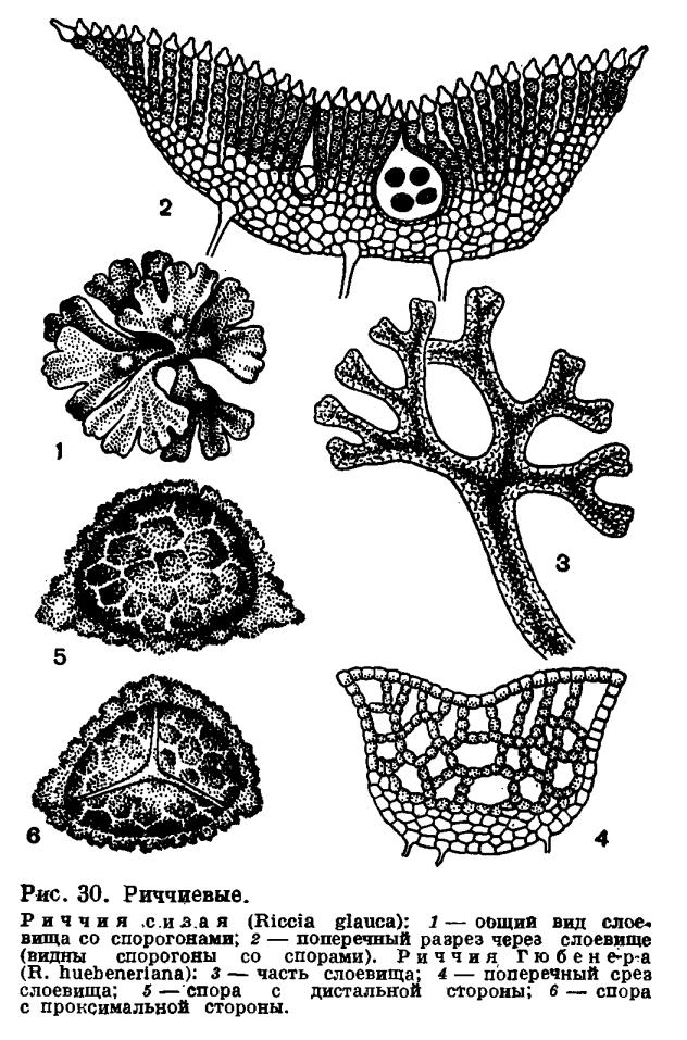 Подпорядок риччиевые (Ricciineae)