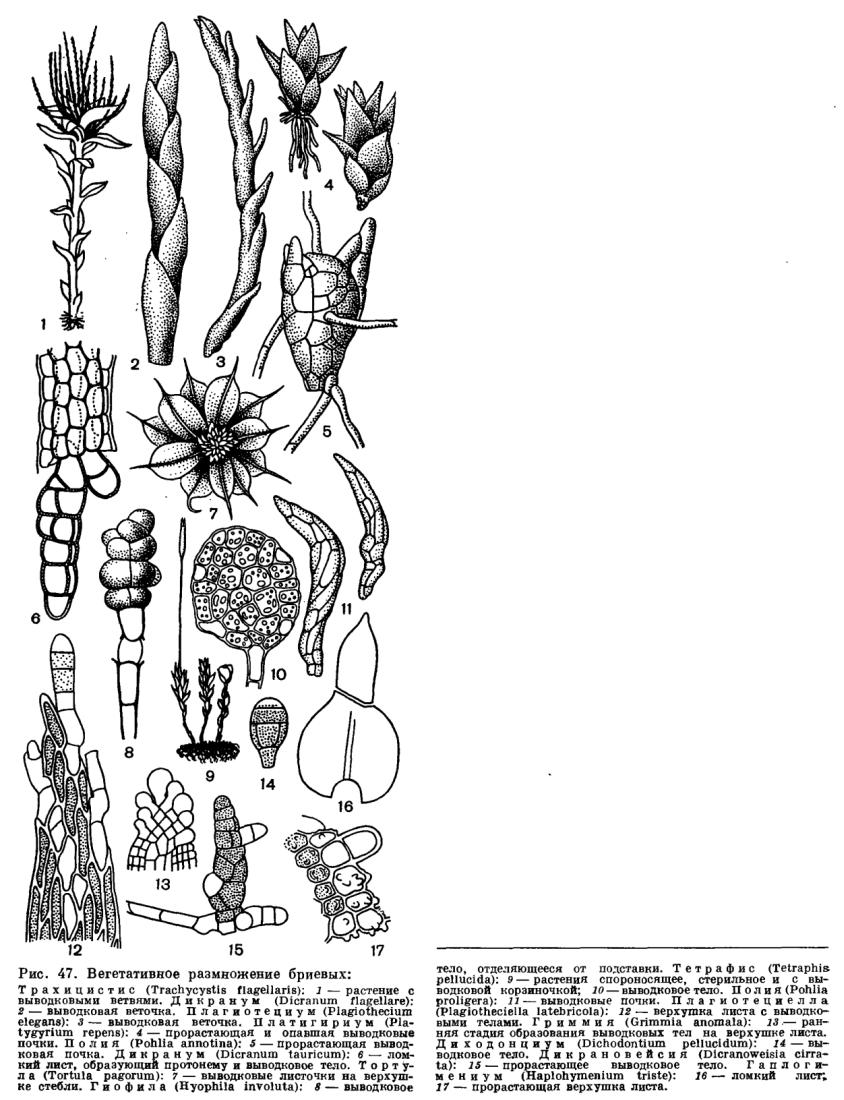 Порядок тетрафисовые (Totraphidales)