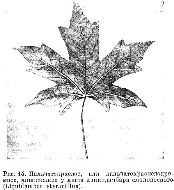 описание листочка клена