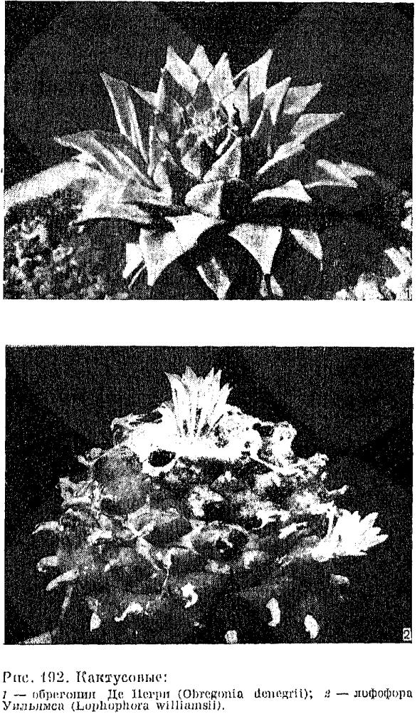 Переския уход в домашних условиях за листовым кактусом