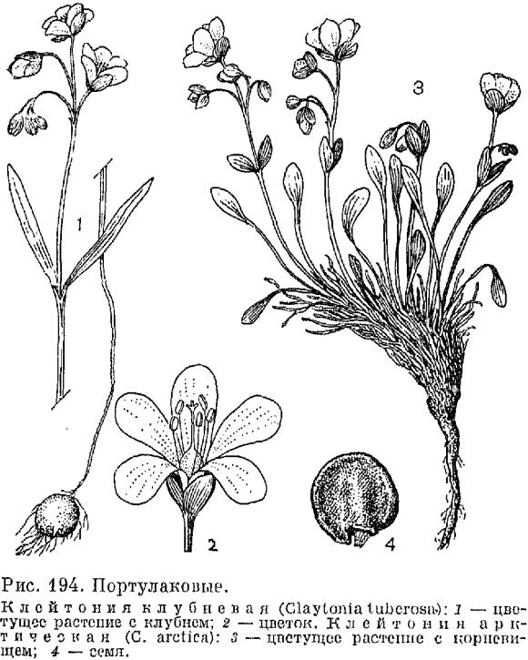 Семейство Портулаковые Рortulacaceae  Биологическая