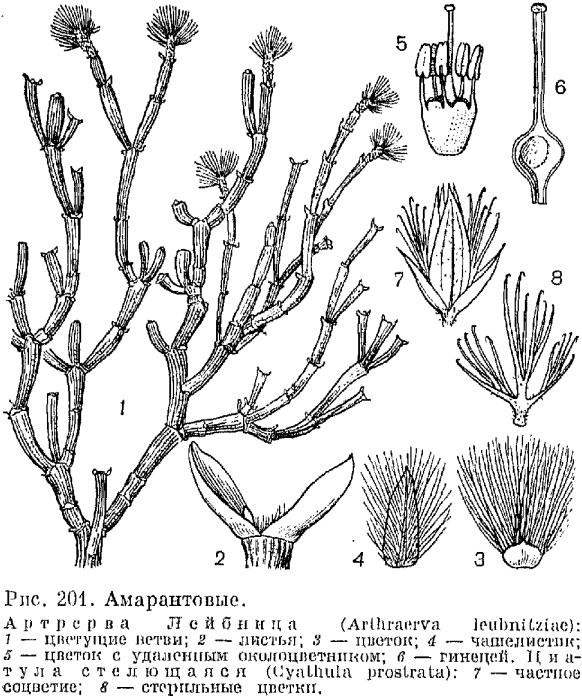 Семейство амарантовых или щирицевых