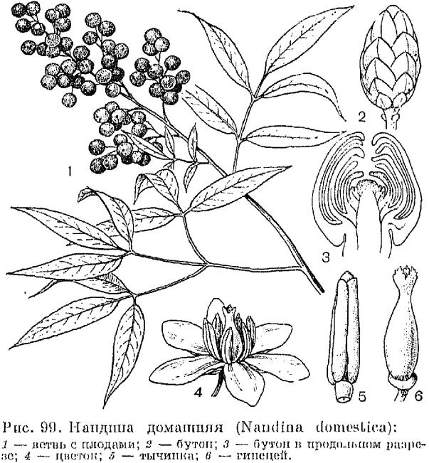 Семейство барбарисовые borberidaceae