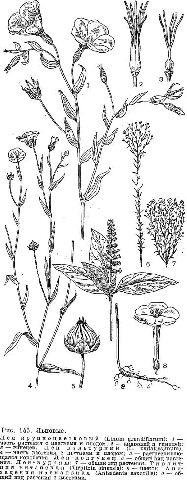 (до 140—150) цветков и