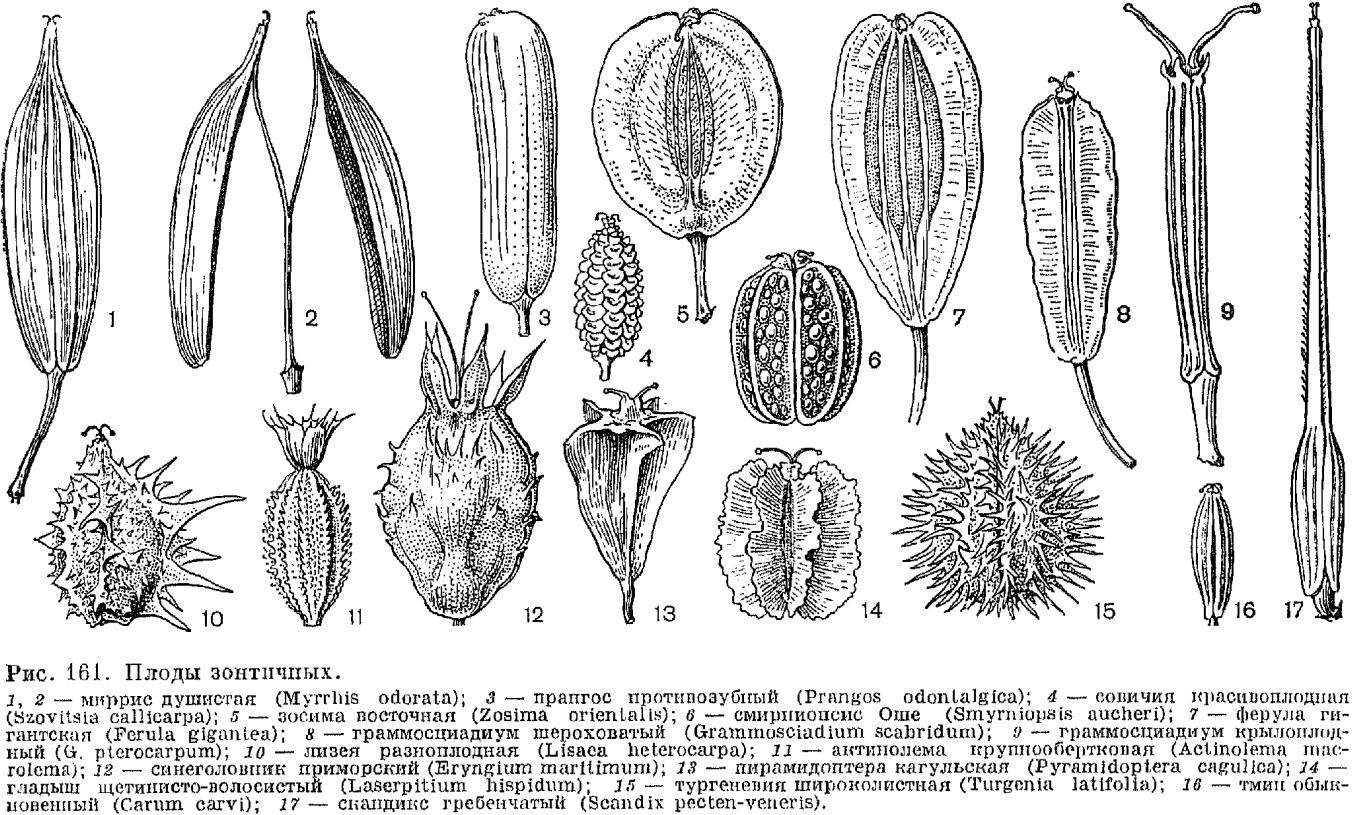 apiaceae семейство