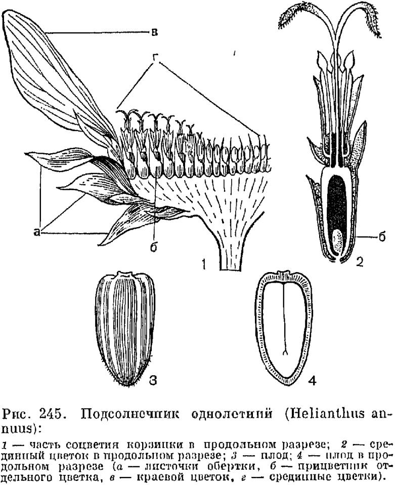 Выращивание астры из семян из рассады в открытом грунте
