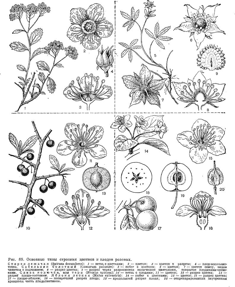 Подсемейство яблоневые (Maloideae)