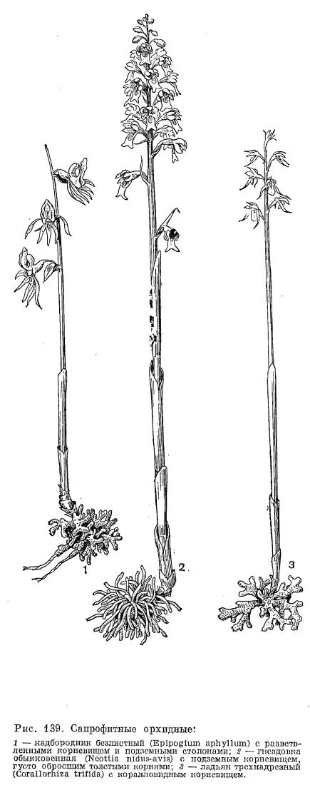 Семейство орхидные