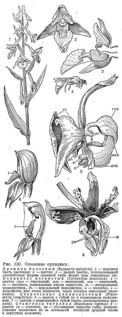 орхидеи калопогона
