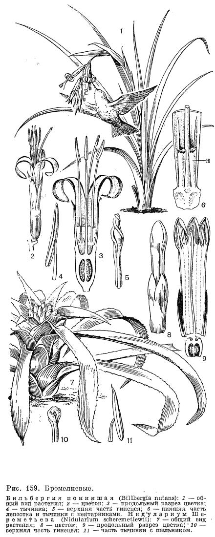 Бромелия  Bromeliaceae  parkovebg