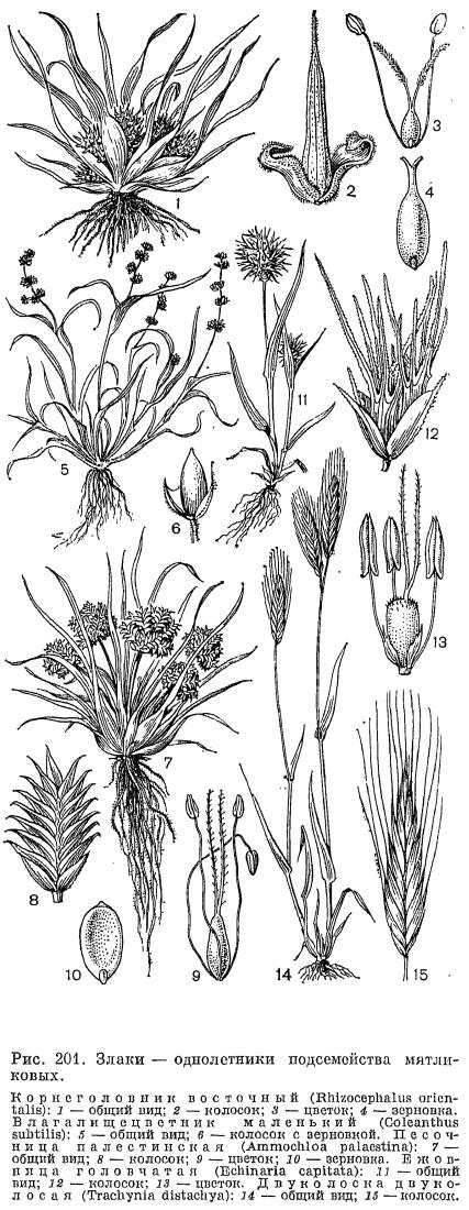 Семейство злаки (Poaceae)