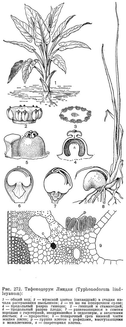 Подсемейство филодендровые (Philodendroideae)