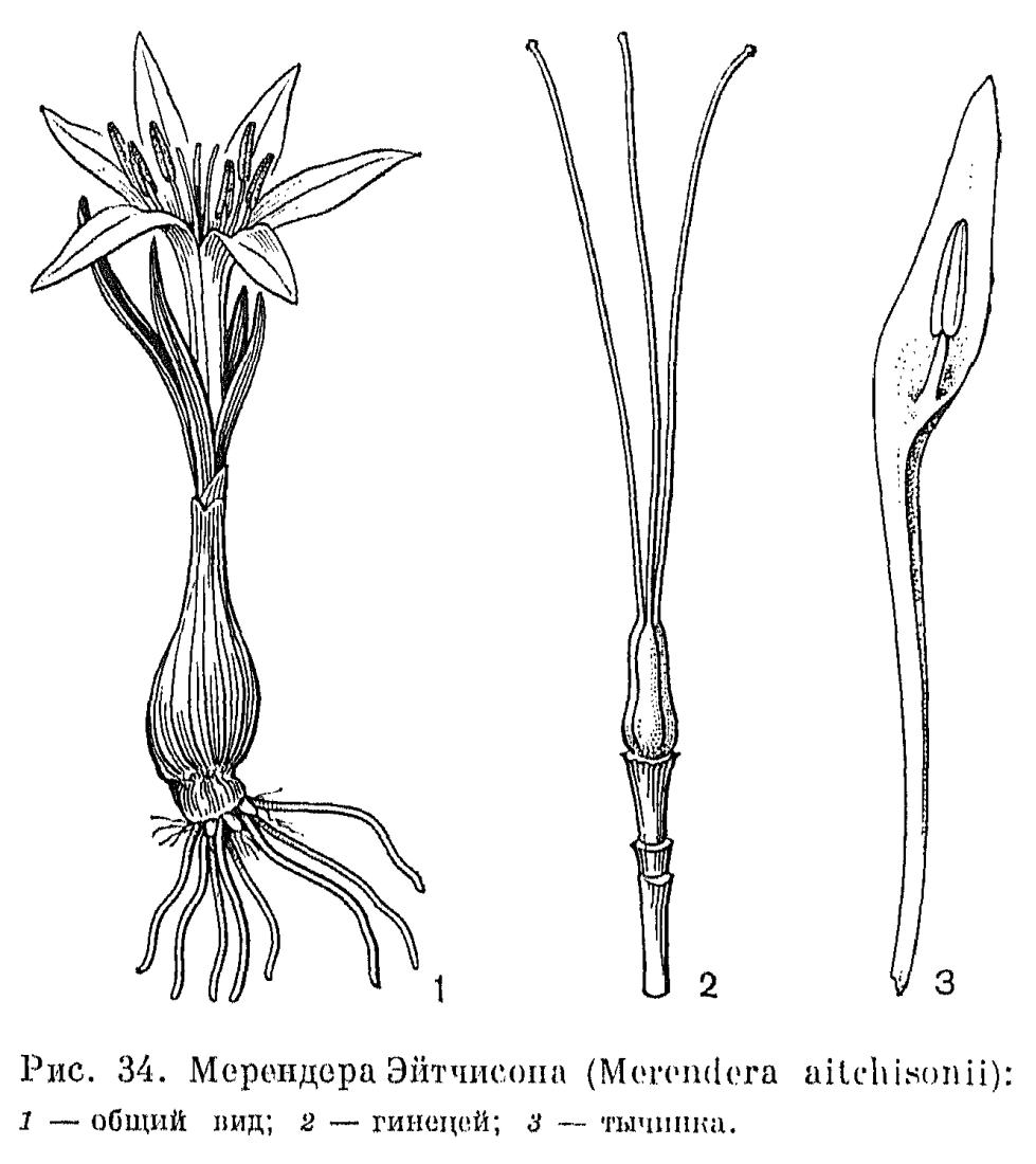 мерендера