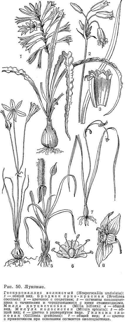 Семейство луковые alliaceae это Что такое Семейство луковые  Семейство луковые alliaceae