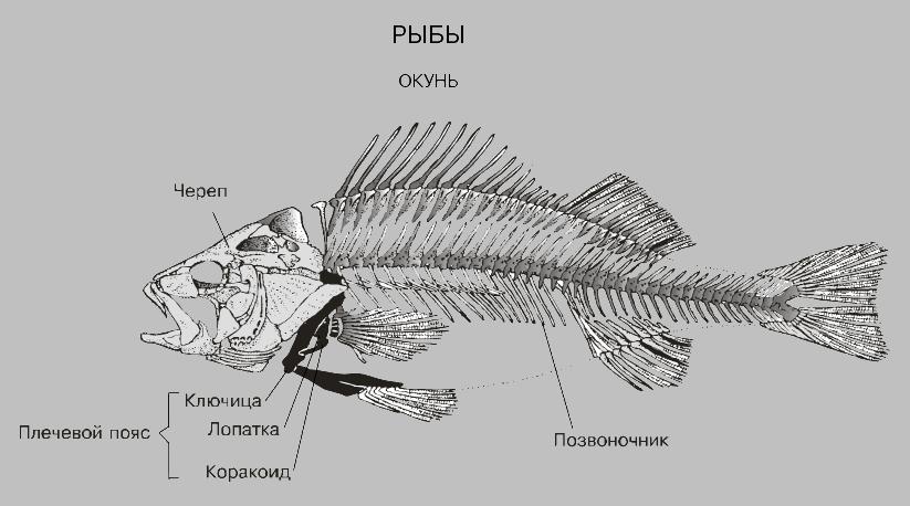 Но на схемах строения скелета они изображены, хоть и не подписано название этих костей.  По своему рыбацкому опыту...