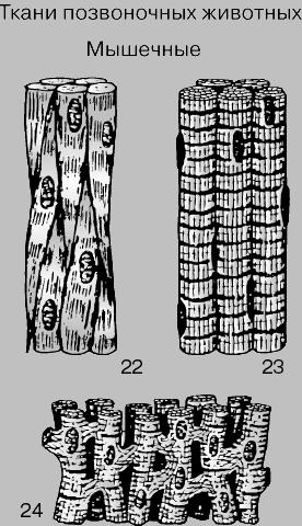 картинки мышечная ткань