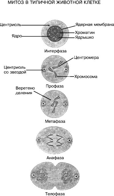 МИТОЗ, процесс деления клетки,