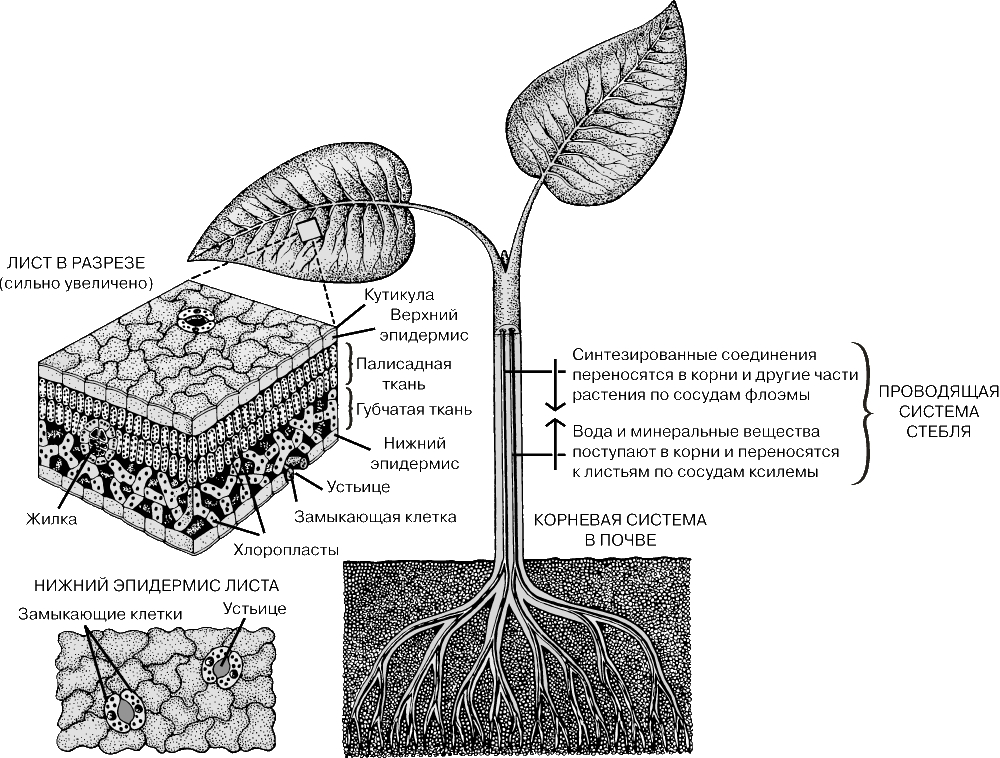 В ходе фотосинтеза растение