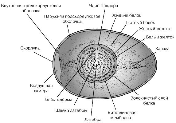СТРОЕНИЕ КУРИНОГО ЯЙЦА Ядро.  Молодой ооцит содержит ядро с крупным ядрышком и диплоидным набором хромосом, т.е...