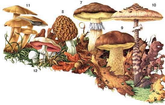Неядовитые грибы 7 масленок 8