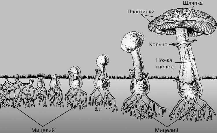 ШЛЯПОЧНЫЙ ГРИБ - представляет