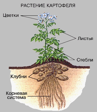 картофеля с картинкой строение