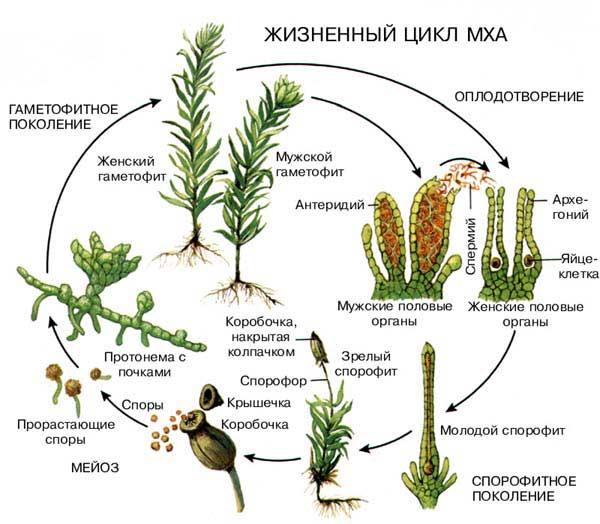 Презентация по биологии 6 класса на тему жизненный цикл мхов посвящена особенностям жизнедеятельности низших растений.