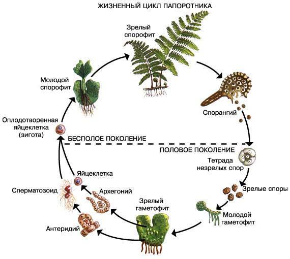 Жизненный цикл папоротника