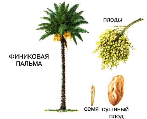 Финиковая пальма одно из древнейших