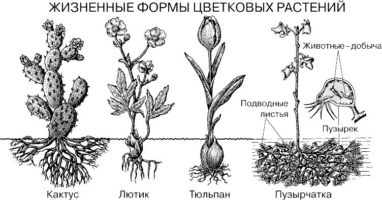 Кактус - пустынное растение