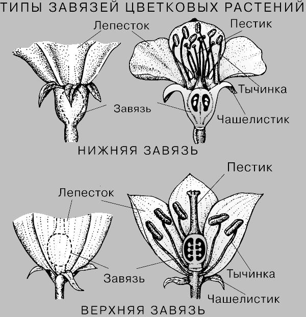 У цветковых различают завязи